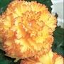 Begonia Apricot Frills