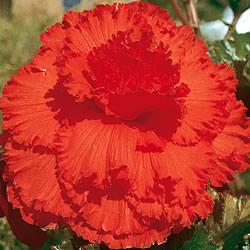Begonia Prima Donna Orange