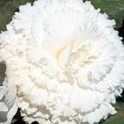 Begonia Prima Donna Pure White
