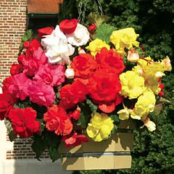 Begonia Sensation Red