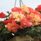 Begonia Apricot Sorbet Trailing Double
