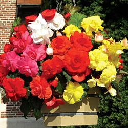 Begonia Hanging Sensation Collection
