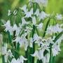 Allium triquetrum