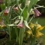Fritillaria minuta
