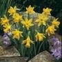 Narcissus nanus