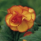 Begonia Mulit-petalled Picotee Collection