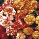 Begonia Sensation Fiery Picotee Mixed