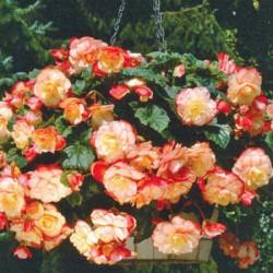 Begonia Sensation Pastel Picotee Mixed