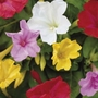 Mirabilis Jalapa Mixed - Four o'clock flowers; Marvel of Peru