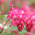 Ribes sanguineum 'Pulborough Scarlet' (flowering currant)