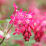 flowering currant