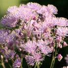 Thalictrum aquilegiifolium (meadow rue)