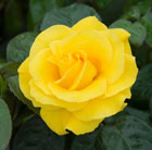 Rosa Golden Wedding ('Arokris') (PBR) (rose Golden Wedding  (floribunda/hybrid tea))