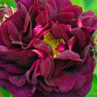 Rosa 'Tuscany Superb' (rose Tuscany Superb (gallica))