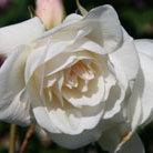 Rosa Iceberg ('Korbin') (rose Iceberg  (bush floribunda))
