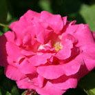 Rosa 'Zephirine Drouhin' (rose Zephirine Drouhin (climbing bourbon))