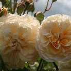 Rosa 'Buff Beauty' (rose Buff Beauty (hybrid musk))