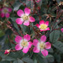 Rosa glauca (rose rubrifolia (shrub))