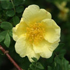 Rosa xanthina &#x27;Canary Bird&#x27; (rose Canary Bird (shrub))