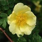 Rosa xanthina 'Canary Bird' (rose Canary Bird (shrub))