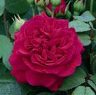Rosa Tess of the d'Urbervilles ('Ausmove') (PBR) (rose Tess of the d'Urbervilles (shrub))