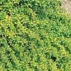 Thymus pulegioides 'Aureus' (golden scented thyme)