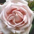 Rosa 'New Dawn' (rose New Dawn (climbing))