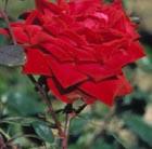 Rosa 'Climbing Etoile de Hollande' (rose Etoile de Hollande (climbing hybrid tea))