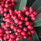 Skimmia japonica subsp. reevesiana (skimmia (berry bearing))