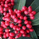 Skimmia japonica subsp. reevesiana (skimmia (berry bearing))