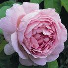 Rosa 'Constance Spry' (rose Constance Spry (climber/shrub))
