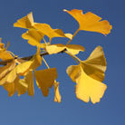 Ginkgo biloba (maidenhair tree)