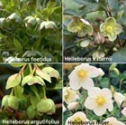 Helleborus collection of six plants (hellebore collection)