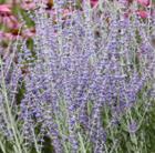 Perovskia atriplicifolia 'Little Spire (PBR)' (Russian sage)