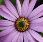 Osteospermum jucundum (African daisy)