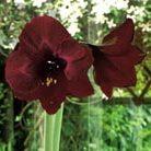 Hippeastrum 'Black Pearl' (amaryllis Black Pearl bulb)