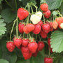 strawberry   mid season fruiting