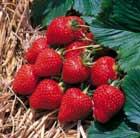 strawberry 'Fenella' (PBR) (strawberry   mid to late season fruiting)