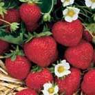 strawberry 'Honeoye' (strawberry   early season fruiting)