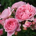 Rosa Friends Forever ('Korapriber') (PBR) (rose Friends Forever (floribunda))