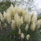 Cortaderia selloana 'Pumila' (pampas grass)