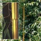 Phyllostachys vivax f.  aureocaulis (phyllostachys bamboo)
