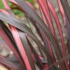 Phormium 'Evening Glow' (New Zealand flax)
