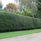 Ilex aquifolium (English holly)