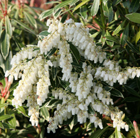 Pieris 'Flaming Silver' (lily of the valley shrub)