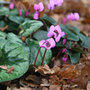 Cyclamen coum (sowbread)