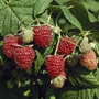 raspberry 'Autumn Bliss' (PBR) (raspberry   autumn fruiting)