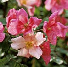 Rosa x odorata 'Mutabilis' (China rose)