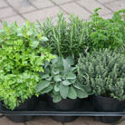Herb collection (6 mixed herbs) (herb collection   mint, rosemary, thyme, parsley & sage or lavender)