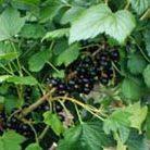blackcurrant 'Ben Connan' (PBR) (blackcurrant)